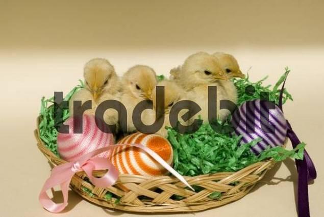 Japanese Bantam or Chabo chicks in an Easter basket, Schwaz, Tyrol, Austria, Europe