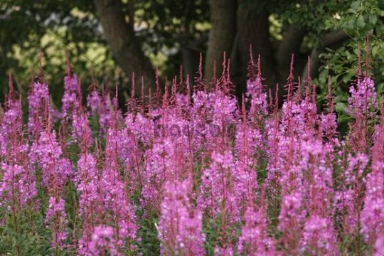 Fireweed or Rosebay Willowherb Epilobium angustifolium, Rhoen, Lower Franconia, Bavaria, Germany, Europe