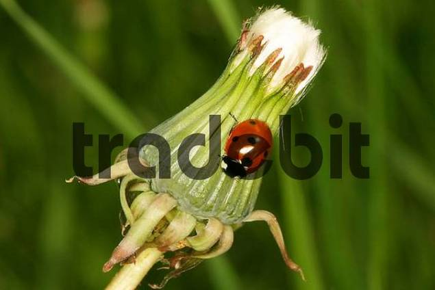 Ladybird on a dandelion