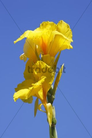 Yellow flowering Indian Shot Canna-Indica-hybrid