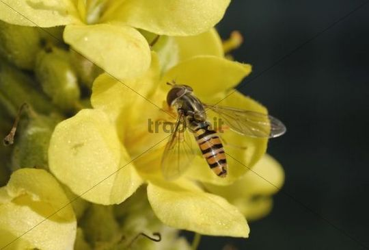 Marmelade Fly Episyrphus balteatus sitting on a yellow blossom of a Woolly or Common Mullein Verbascum thapsus