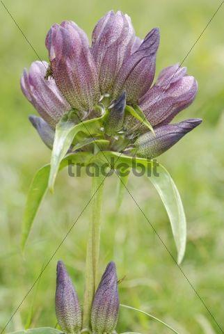 Flowering Purple Gentian Gentiana purpurea