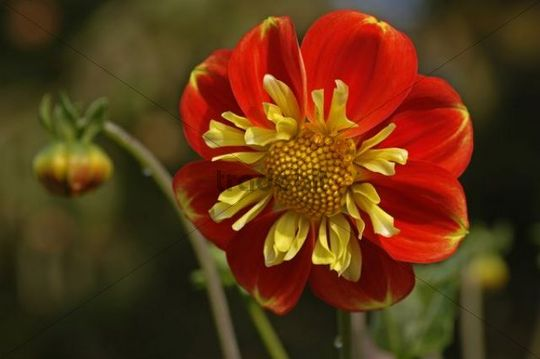 Zinnia Zinnia with red flowers, Neusless, Upper Franconia, Bavaria, Germany, Europe