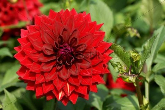 Dahlia Dahlia with red flowers, Neusless, Upper Franconia, Bavaria, Germany, Europe