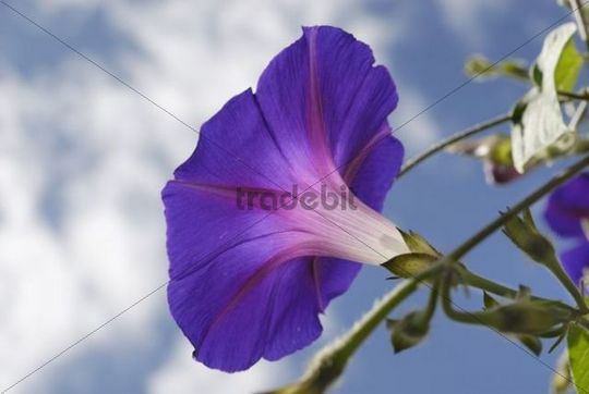 Detailed view of the violet blossom of the Common Morning Glory Ipomea purpurea