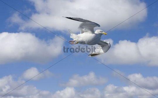 Herring Gull Larus argentatus, Vogelfluglinie, route between Puttgarden and Roedby, Puttgarden, Fehmarn, Germany, Europe