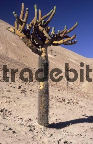candelabra cactus, atacama desert near Arica, Chile