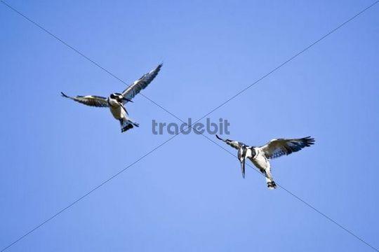Two Pied Kingfisher Ceryle rudis in flight, Okavango Delta, Botswana, Africa