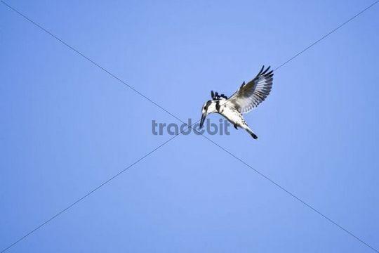 Pied Kingfisher Ceryle rudis in flight, Okavango Delta, Botswana, Africa