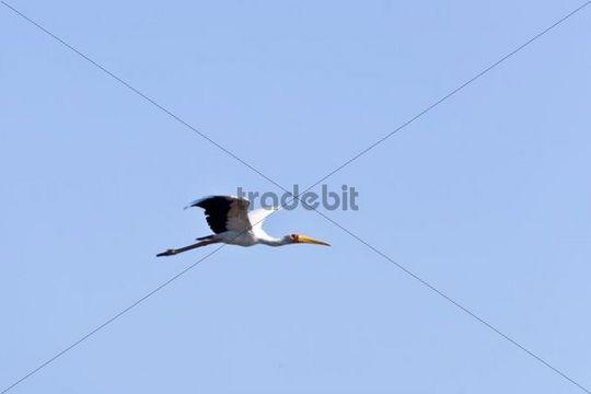 Yellow-billed Stork Mycteria ibis in flight, Okavango Delta, Botswana, Africa