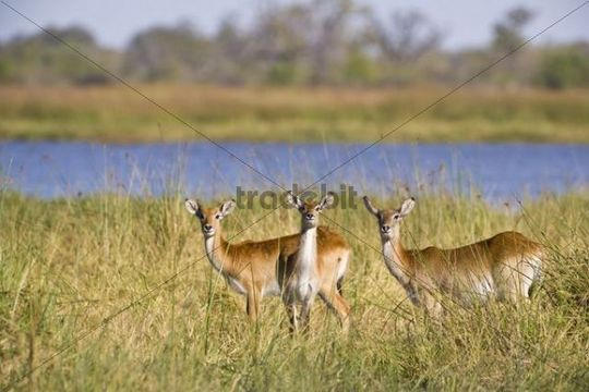 Lechwe or Southern Lechwe, Kobus leche, Okavango Delta, Botswana, Africa