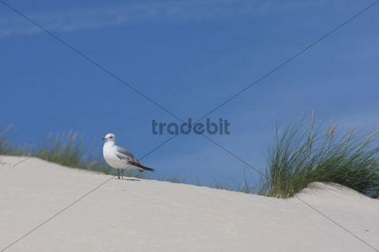 Common gull Larus canus standing in sand dunes, North Sea, Amrum Island, Schleswig-Holstein, Germany, Europe