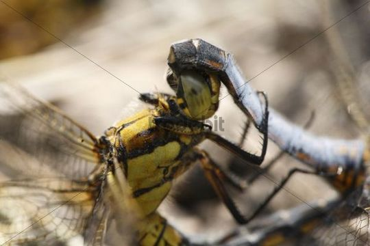 Broad-bodied Chasers Libellula depressa, mating, close-upof the females head and the males abdomen, Bavaria, Germany, Europe