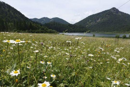 Meadow at Lake Weitsee, Chiemgau Alps, Bavaria, Germany, Europe
