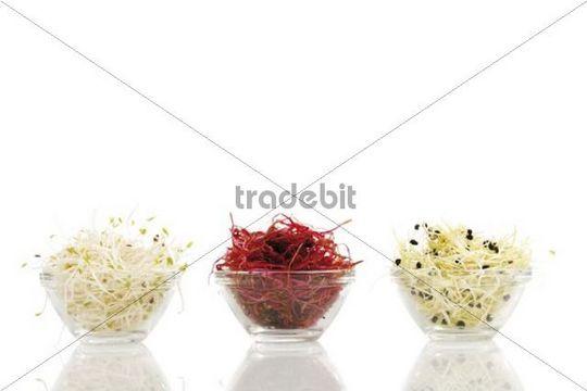 Seedlings of beet root, leek and alfalfa in glass bowls