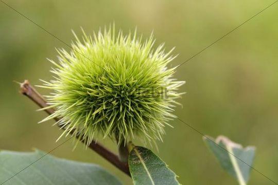 Sweet Chestnut or Spanish Chestnut, or European Chestnut Castanea sativa, fruit