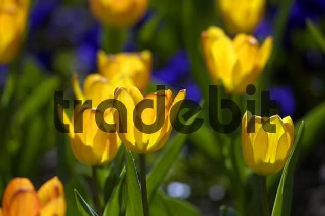 yellow tulips im Beet