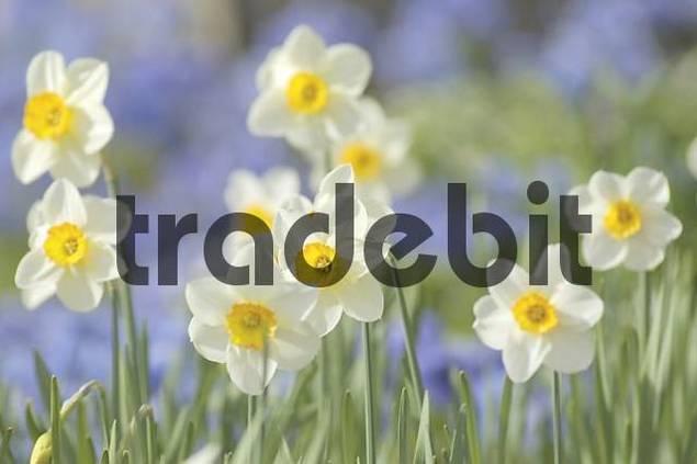 white daffodils Narcissus pseudonarcissus
