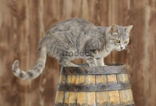 Young grey tabby cat, standing on a barrel