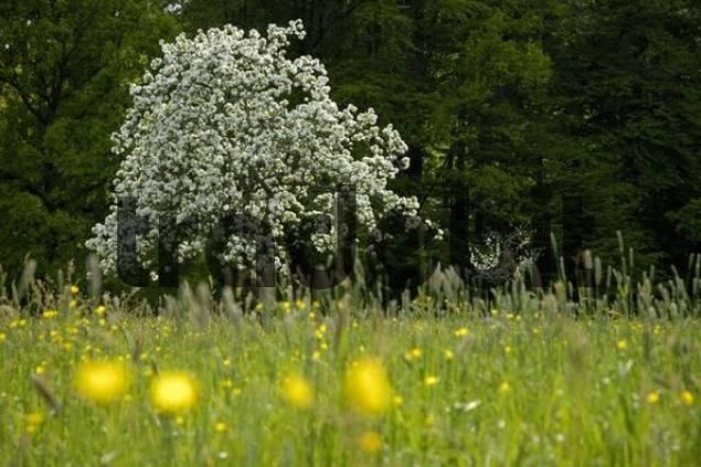 flowering apple tree in full bloom in spring