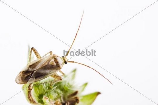 Alfalfa Plant Bug Adelphocoris lineolatus