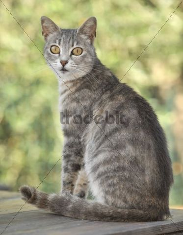 Young grey-tigered cat sitting on a table