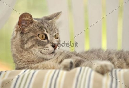 Young grey-tigered cat lying on apillow