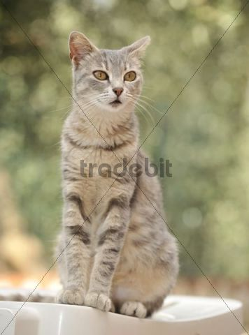 Young grey-tigered cat sitting on a chair