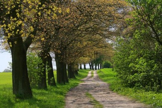 Avenue of trees along a path, Mecklenburg Lake District, Mecklenburg-Western Pomerania, Germany, Europe