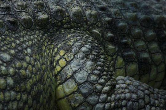 Crocodile Crocodilia, detail
