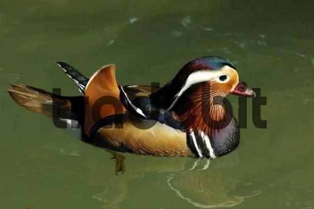 Male Mandarin Duck Aix galericulata