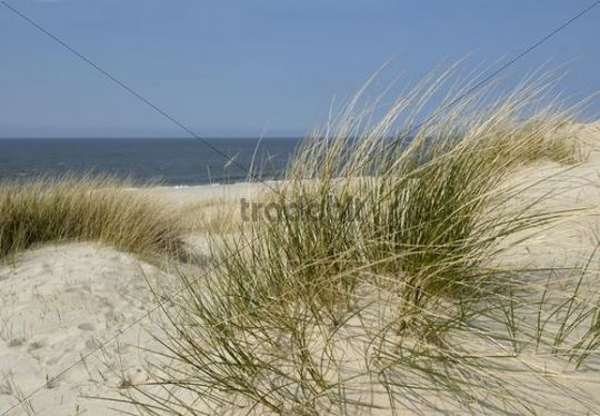 White dune with European Beachgrass Ammophila arenaria on the west beach of Sylt Island, Schleswig-Holstein, Germany, Europe