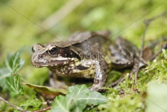 Common Frog Rana temporaria perched on moss
