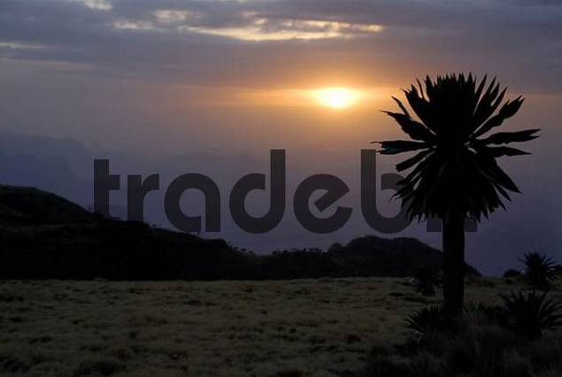 Giant Lobelia Lobelia rhynchopetalum against the evening sun in Semien Mountains National Park near Geech Ethiopia