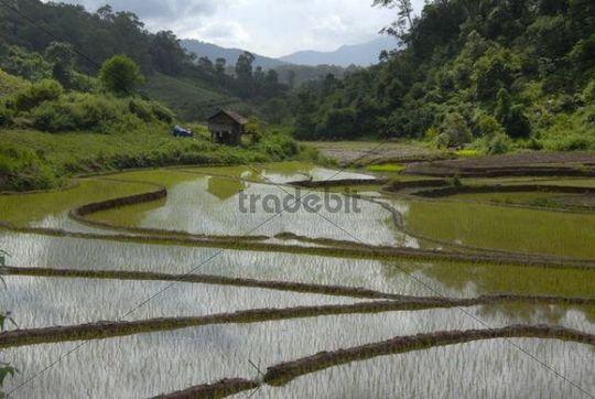Freshly planted rice in terraced rice fields near the Ban Xieng Fa village, Tai Lue tribe, near Boun Neua, Phongsali Province, Laos, Southeast Asia