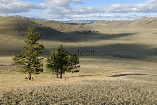 Larches Larix, Saylyugem Mountains, Tschuja Steppes, Altai Republic, Siberia, Russia, Asia