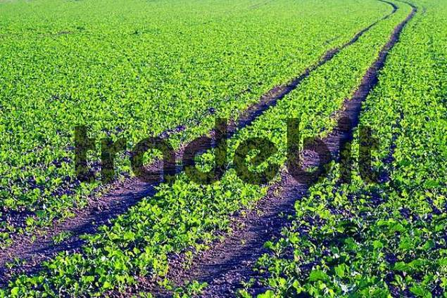 tracks of a tractor on a field cultivated with young plants