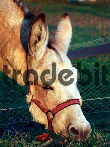 donkey stretches his head over the fence to eat some grass