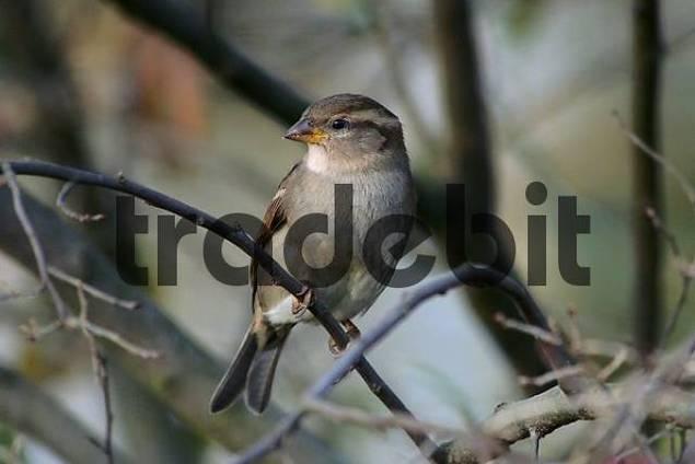bird, songbird, sparrow