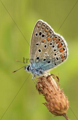 Common Blue Butterfly Polyommatus icarus, female, underside