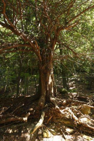 european yew taxus baccata ibengarten nature reserve near dermbach