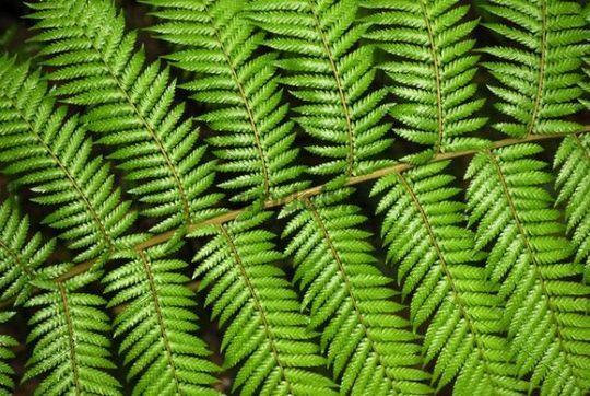 Fern frond, close-up, Tasmania, Australia