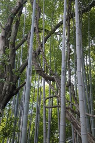 Bamboo sprouts Bambuseae and Wisteria Wisteria sprouts, Kyoto, Japan, Asia