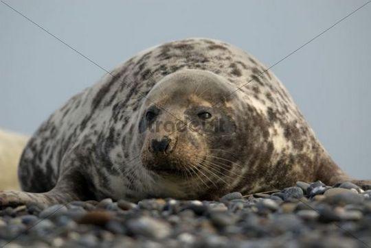 Female Gray Seal Halichoerus grypus, Heligoland, Schleswig-Holstein, Germany, Europe