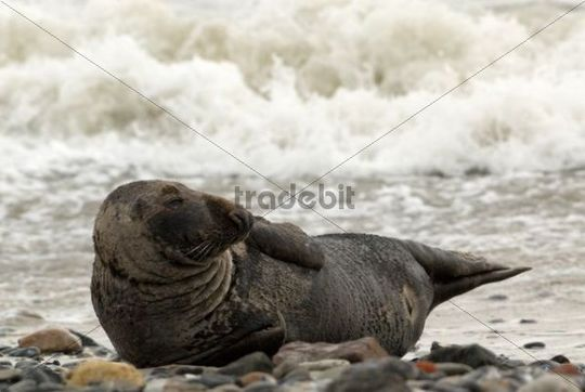 Gray Seal Halichoerus grypus on the seashore, Heligoland, Schleswig-Holstein, Germany, Europe