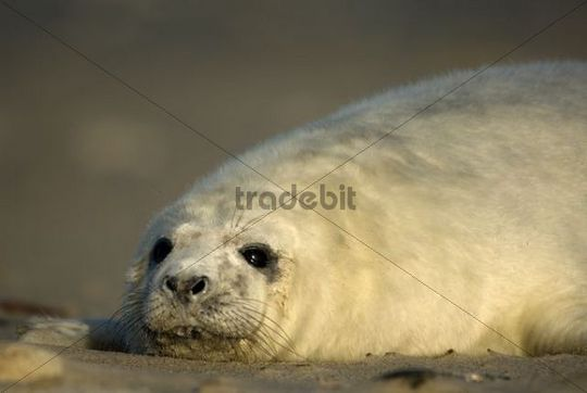 Young Gray Seal Halichoerus grypus cub, Heligoland, Schleswig-Holstein, Germany, Europe