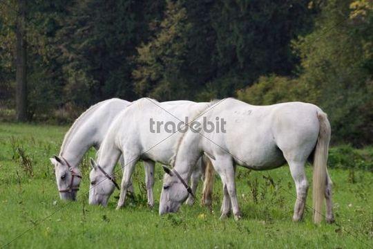 White horses from horse-breeding farm Kladruby nad Labem, Pardubice district, Czech Republic, Europe