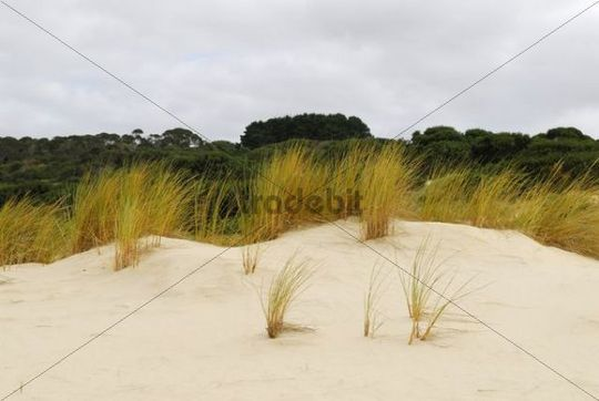 Beach grass in the Henty dunes near Strahan, Tasmania, Australia