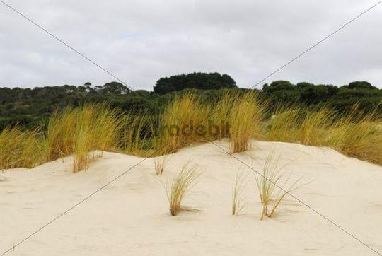 Beach grass in the Henty dunes near Strahan, Tasmania, Australia