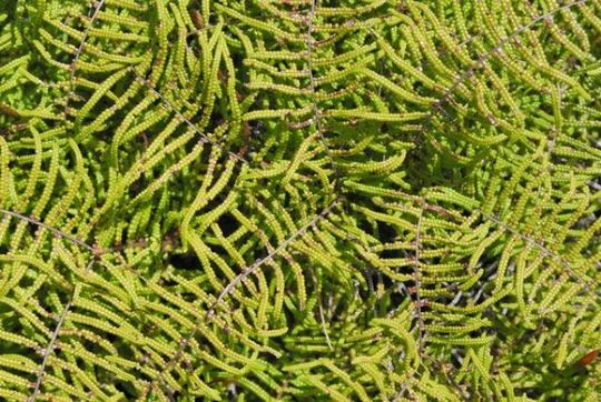 Tasmanian Fern Doodia aspera, West Tasmania, Australia